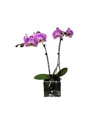 Orchid Phalaenopsis Tropical