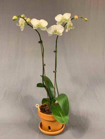 Orchid Plant in Decorative Container