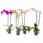 Orchid Plant - 4