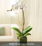Orchid plant / limited supply