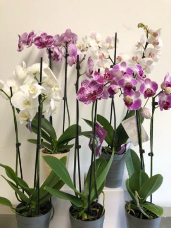 Orchid plant - 951 Plants