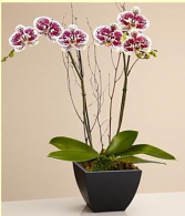 Orchid Plant Blooming
