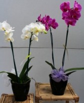 Orchid Plant  Blooming Plant