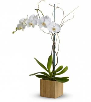 Single White Phalaenopsis Orchid Plant Blooming Plant in Las Vegas, NV | AN OCTOPUS'S GARDEN