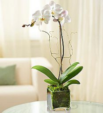 Orchid Plant container may vary