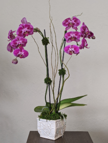 Orchid Plant  Double Stemmed