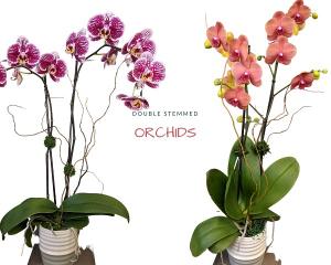 Orchid Plant  Double Stemmed  in San Rafael, CA | BURNS FLORIST