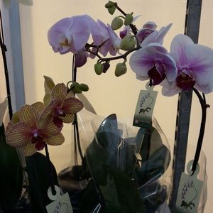 Orchid Plant Orchid Plant