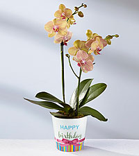 Orchid plant Orchid plant (container varies)