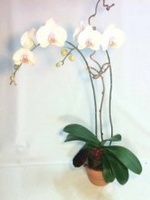 Orchid Plant - VAL - 7 Orchid