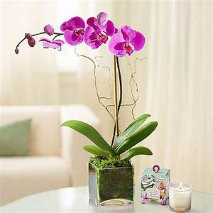 Orchid Plant Pending Available Color Single or Double Orchid Plant