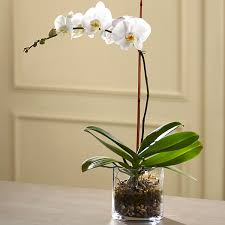 Orchid Plant Phalaenopsis