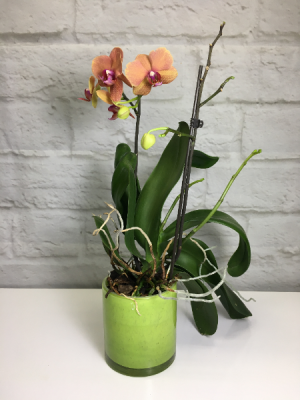 Orchid Plant Phalaenopsis hybrid in South Milwaukee, WI | PARKWAY FLORAL INC.