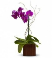 "BTS 2-Orchid Plant Phalaenopsis orchid plant in a square vase approximately 16"" high. Colors vary."