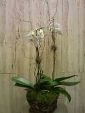 Orchid Plant Phalaenopsis Orchid Plant