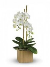 OC 8-Orchid plant white or purple
