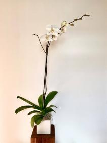 Orchid Plant White Phalaenopsis Orchid