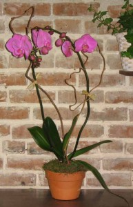 Orchid Plants Orchids in New Orleans, LA | HARKINS THE FLORIST