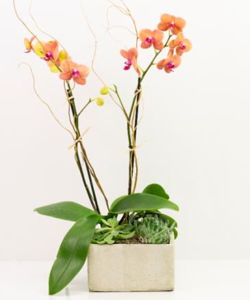 Orchid Romance
