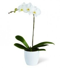Orchid White orchid Plant