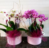 ORCHIDS IN A LARGE CERAMIC POT EXCLUSIVELY AT MOM & POPS