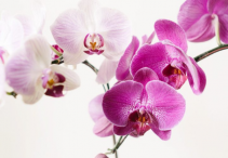 Orchid Living Plant