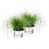 Organic Cyperus Zumula Deluxe cat grass