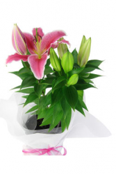 Oriental Lily Plant Valentine's