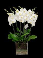 orquídea elegante luxury plant