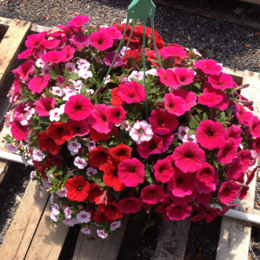 Our Famous Homegrown Hanging Baskets