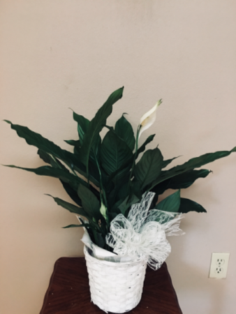 Our love and sympathy Plant