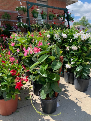 Outdoor Blooming  Patio Plant  in Breese, IL | Town & Country Florist