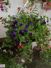 Outdoor Hanging Basket Assorted plants