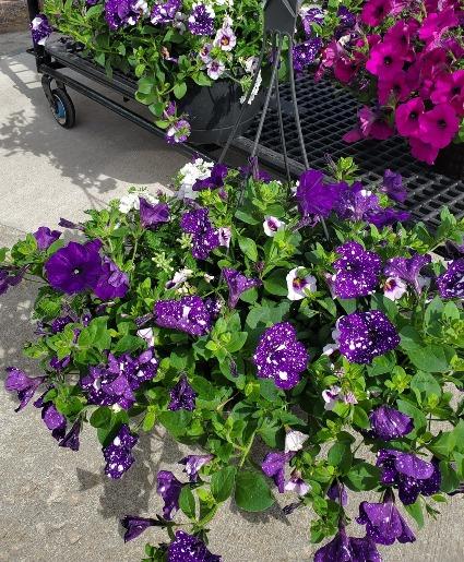 Outdoor Hanging Basket Assorted plants