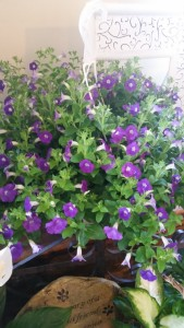 outdoor hanging purple blooming plant