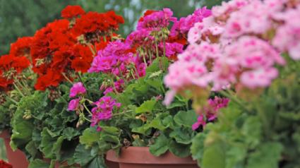 Outdoor Plants & Hanging Baskets Plants