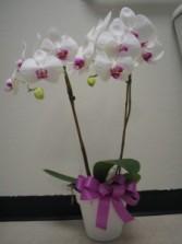 OUTRAGEOUS ORCHIDS  plant