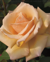 Over the Moon™ 5 gallon - Hybrid Tea