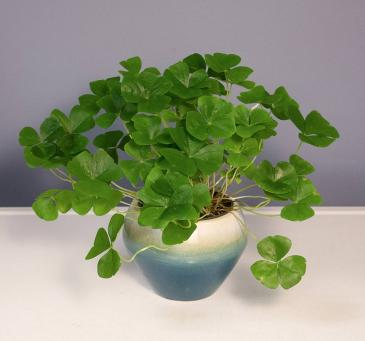 Oxalis - Green Plant