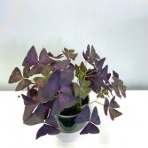 Oxalis Triangularis 'Purple Shamrock' Pick-up Only