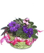 AFRICAN VIOLETS Basket of Plants
