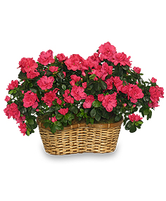 HOT PINK AZALEA BASKET Flowering Plants in Ozone Park, NY | Heavenly Florist