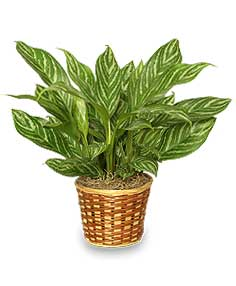 CHINESE EVERGREEN PLANT  Aglaonema commutatum  in Ozone Park, NY | Heavenly Florist