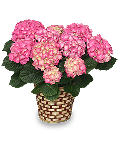 BLOOMING HYDRANGEA Plant Basket in Riverside, CA | Willow Branch Florist of Riverside