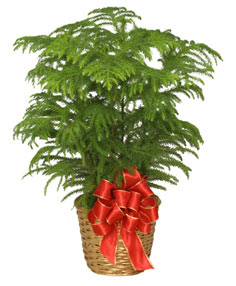 NORFOLK ISLAND PINE Holiday Plant Basket