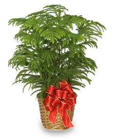 NORFOLK ISLAND PINE Holiday Plant Basket in Sedalia, MO | State Fair Floral