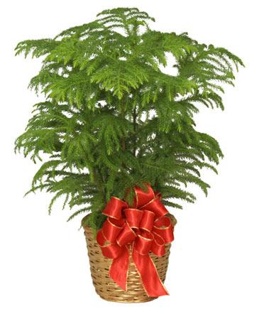 NORFOLK ISLAND PINE Holiday Plant Basket