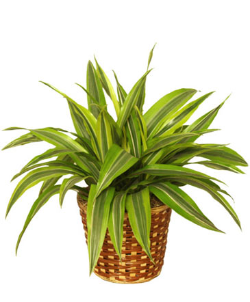 STRIPED DRACAENA House Plant