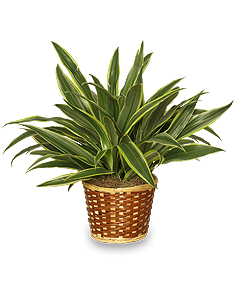 STRIPED DRACAENA PLANT  Dracaena deremensis  'Warneckei' in Ozone Park, NY | Heavenly Florist