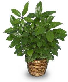 GREEN SCHEFFLERA PLANT Brassia actinophylla